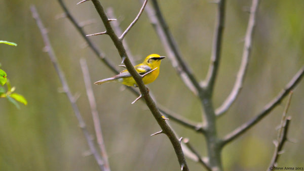 The blue-winged warbler is one of many songbirds that may live in shrubland habitat.