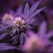 A marijuana plant in Hermon.