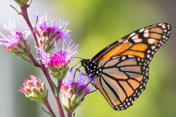 A monarch butterfly perches on a flower on Aug. 14, 2016, in the Coastal Maine Botanical Gardens in Boothbay.