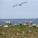 These offshore Maine islands are populated only by sheep