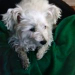 Bonnie, a 9-year-old West Highland white terrier, has been the focus of a search since she ran off into a swampy wooded area while being taken to her groomer's.