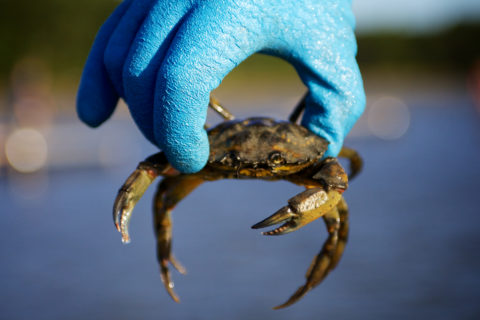 The invasive European green crab population has exploded in Maquoit Bay during the last few years due to warming water temperatures.