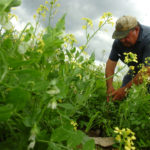 A Maine farmer inspects a crop of peas.