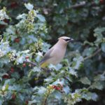 Cedar Waxwing in holly