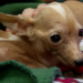 The little Chihuahua the shelter named Motto had a severe case of dental disease, one of the worst they've ever seen.