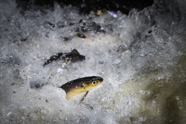 Alewives struggle up Mill Brook in Westbrook on Wednesday, making their way to Highland Lake to spawn. The pool is part of the Mill Brook Preserve and it was acquired by the Presumpscot Land Trust last spring.