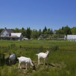 Goats and two of four greenhouses are seen at Chase Street Farm in Monroe, June 20, 2016.