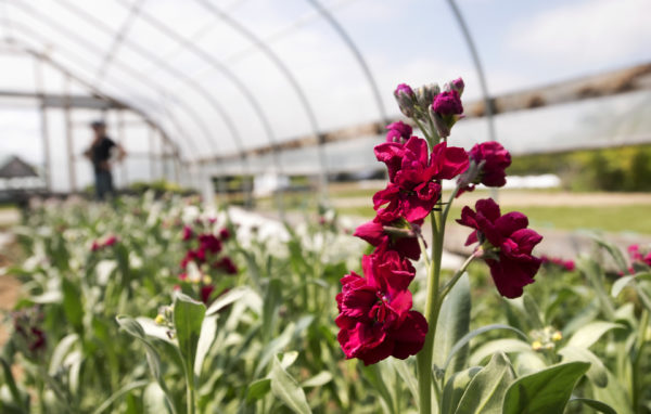 Stock flowers bloom in a high tunnel at the MOFGA Common Ground fairground. Carole Mapes is the current farmer-in-residence. She will grow about 50 varieties flowers this season. The residence program lasts two years, and she has access to MOFGA's agricultural resource base to establish her own business.