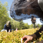 University of Maine students Alex Chandler (right) and Jade Christensen check blueberry plants for mummy berry as Judy Collins, assistant scientist for the University of Maine School of Biology and Ecology, records the findings.