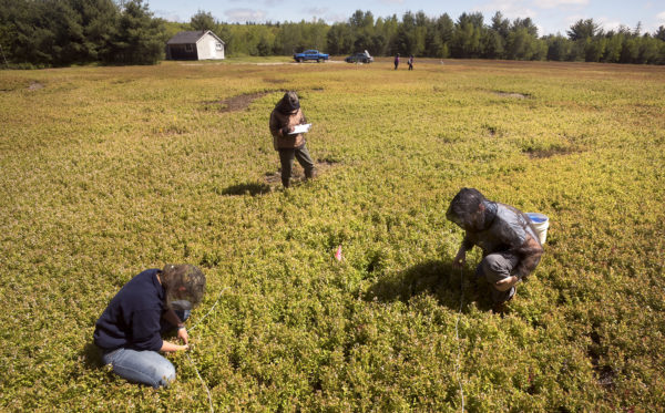 University of Maine students Jade Christensen (left) and Alex Chandler (right) check blueberry plants for mummy berry as Judy Collins, assistant scientist for the University of Maine School of Biology and Ecology, records the findings.