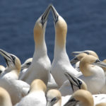 Northern gannets on Bonaventure Island in Quebec.