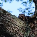 An orphaned baby raccoon is seen in a tree in this photo submitted to WGME, CBS 13.