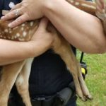 Sunday, Dixfield police rescued a fawn who had been left behind for three days. (Dixfield Police Department)