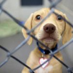 An adoptable puppy waits to go home at the Bangor Humane Society in Bangor Tuesday. All 16 dogs that came up from overcrowded shelters in Mississippi were adopted in an hour and a half.