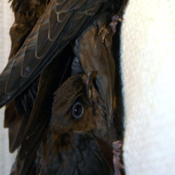 The top and bottom birds in the photo are the two chimney swifts.