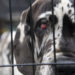 One of the 84 Great Danes rescued from an alleged puppy mill in New Hampshire awaits transport. Christina Fay, who operated an unlicensed breeding kennel in Auburn in 2015, has been charged in connection with operating the mill.