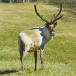 No matter how many times we saw them, it was hard to not be impressed by reindeer sporting a full, velvety rack.