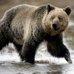 A grizzly bear roams through the Hayden Valley in Yellowstone National Park in Wyoming, U.S. on May 18, 2014.
