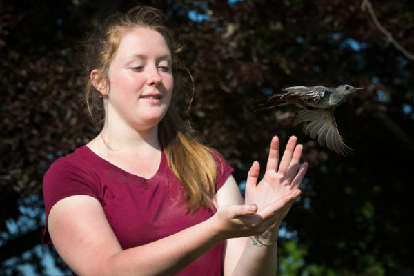 Genlyne Fiske-White, an intern at the Biodiversity Research Institute, releases a catbird at the Wells Reserve this month after capturing it and checking it for ticks.