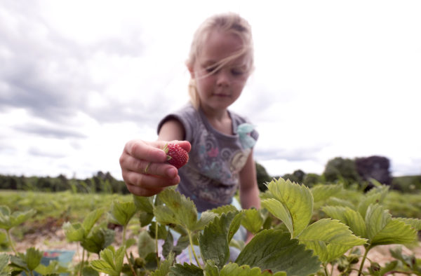Six-year-old Morgan Bonin picks strawberries at Raven's Berry Farm in Freedom Monday.  Morgan came with her mother Lauren Bonin, who said they come at least once a year to pick strawberries.