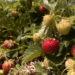 Strawberries at Raven's Berry Farm in Freedom Monday.