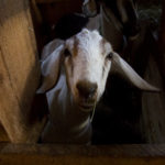 A goat looks through a fence at Copper Tail Farm in Waldoboro.