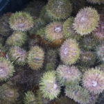 """Sea urchins sit crammed into a plastic crate on the deck of a fisherman's boat off the town of St. George in this September 2016 photo. On Wednesday a federal judge fined a Portland seafood distribution company more than half a million dollars for illegally importing urchins from Canada."""