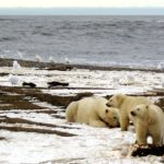 A polar bear sow and two cubs are seen in the Arctic National Wildlife Refuge. President Trump wants to reinstate oil drilling in the Arctic and Atlantic.