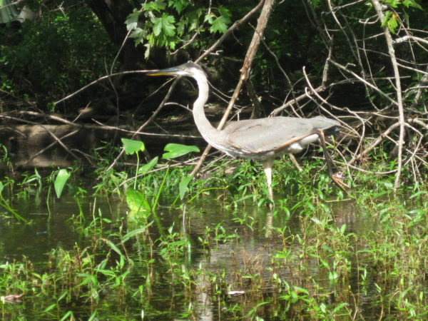 Blue Heron hunting along Pushaw Stream