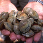 Little neck clams