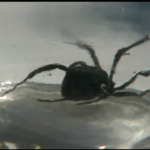 Sandi Partee of Old Orchard Beach found this black widow spider in her grapes.