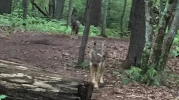 Police say a resident reported seeing two coyotes while walking on the Robinson Woods trails off of Shore Road Thursday morning.