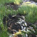 Man who caused Brunswick stink by dumping dead fish broke no law, says Maine DMR