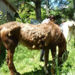 Several neglected horses were rescued from a barn in Deering, New Hampshire.
