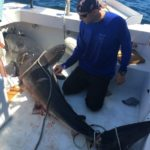 """Professor James Sulikowski of the University of New England examines a porbeagle shark he caught off the coast of Maine and fit with a satellite tracker on June 26, 2017. Sulikowski also determined through an ultrasound exam that the shark is pregnant. Sulikowski's work will be featured during the Discovery Channel's """"Shark Week"""" for the second time this year. The episode, titled """"Shark Vortex,"""" will air at 8 p.m. on July 24."""