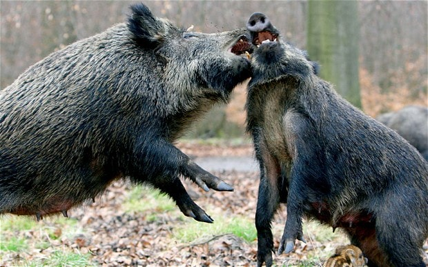 Maine wild boar hunt turns into disaster