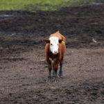 A cow grazes on a farm.