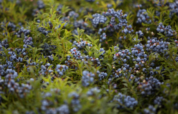 Blueberries wait to be raked in 2016 in one of the Passamaquoddy Wild Blueberry Company fields in Township 19, Washington County.