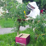 Cpl. Amy Nickerson, a Brewer police officer — and beekeeper in her spare time — helps to move a hive from an Ohio Street tree in a screenshot of a video the Bangor Police Department posted on Friday, July 7, 2017.