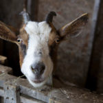 What to know before adding goats to your backyard