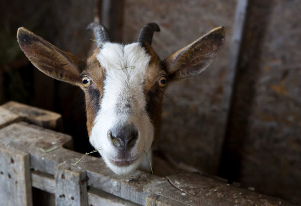 A goat is seen in Frankfort.
