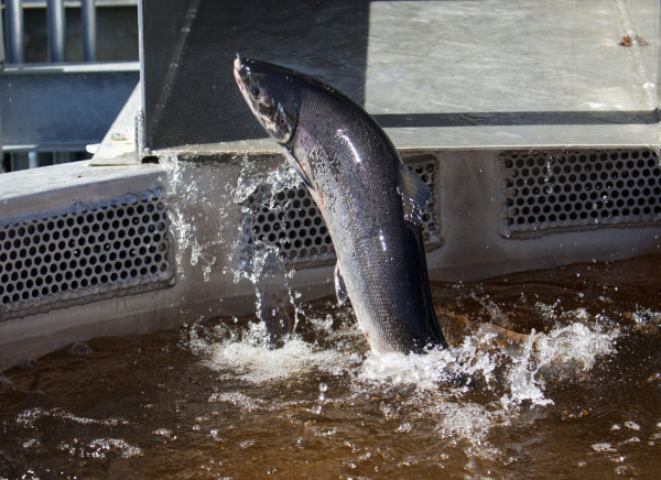 An Atlantic salmon makes its way to a holding tank at the Milford Dam fishway at Brookfield Energy in Milford in a 2015 photo.