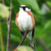 Chestnut-sided warblers are stunningly pretty, yellow-capped birds. They seemed to be occupying every tree during a recent visit to Katahdin Woods and Waters National Monument.