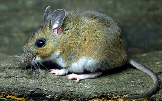 The white-footed mouse is the preferred host of black-legged ticks, which carry Lyme disease.