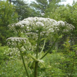 Giant hogweed is a type of noxious weed that can grow to more than 12 feet in height and has large, white flowers. Imported to the United States as an ornamental plant, hogweed oozes sap that can cause severe burns, blisters and even permanent scars. There are about 20 sites in Maine, many of them in the Bar Harbor area due to the plant's use in estate gardens.