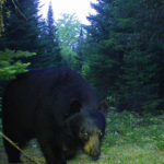 A Maine black bear captured by one of Matt Steiner's game cameras in May of 2016.