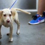 A newly adopted puppy waits in line to go home at the Bangor Humane Society in Bangor recently.