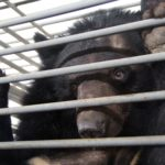"An Asiatic black bear looks out from a cage at the bear farm operated by Flower World in the southern Chinese city of Nanning, March 2014. Asiatic black bears are also known as ""moon bears"" for the crescent of white fir on their chests. Government-run Flower World agreed this week to convert its facility into a bear sanctuary. That means its occupants will never again face the risks posed by bear bile extraction for traditional medicine in China.  (Courtesy of Animals, Asia/MCT)"