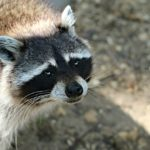 Two cases of rabies in a raccoon have been recently reported in Dayton.