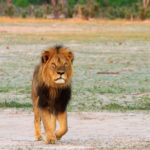 Cecil the lion, seen here in 2012, was killed in July 2015 by an American dentist named Walter Palmer, sparking international outrage.